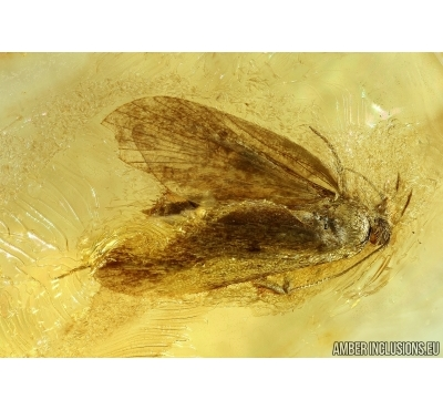 Lepidoptera, Moth. Fossil insect in Baltic amber #6160