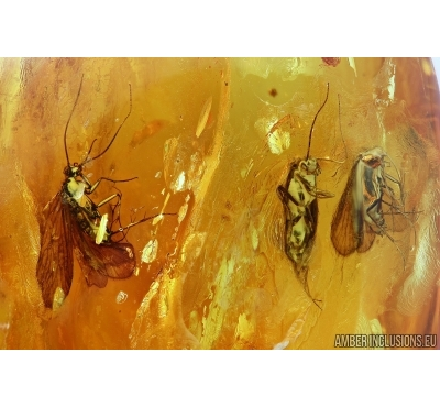 Three Big Caddisflies, Trichoptera. Fossil insects in Baltic amber #6161