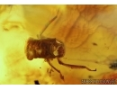 Cicada, Carabidae, Spider and More. Fossil inclusions in Big Baltic amber stone #6169