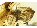 WINGED PLANTHOPPER, CICADA. Fossil insect in Baltic amber #6170