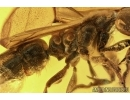 Rare Winged Ant Ponerinae, Pachycondyla with Three Mites. Fossil insects in Baltic amber #6178