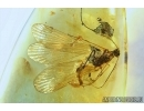 VERY RARE SCORPIONFLY, MECOPTERA, PANORPADIDAE. Fossil insect in BALTIC AMBER #6193