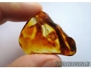 Extremely rare LIZARD TAIL, REPTILIA. Fossil inclusion in Baltic amber #6205