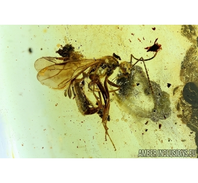 Hymenoptera, Winged Ant. Fossil insect in Baltic amber #6239