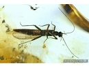 Plecoptera, stonefly. Fossil insect in Baltic amber #6267