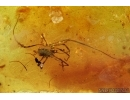 Very rare Neuroptera aquatic larva, superb Harvestman and More. Fossil inclusions in Baltic amber #6345
