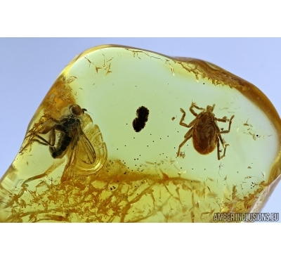 Nice Mite, Trombidia. Fossil insect in Baltic Amber #6353