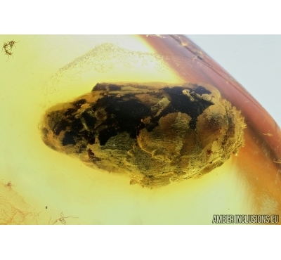 BUD, WINGED PLANTHOPPER and MORE . Fossil inclusions in Baltic amber #6359