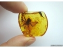 EXTREMELY RARE, BIG ODONATA, DRAGONFLY AQUATIC LARVA. Fossil insect in Baltic amber #6371