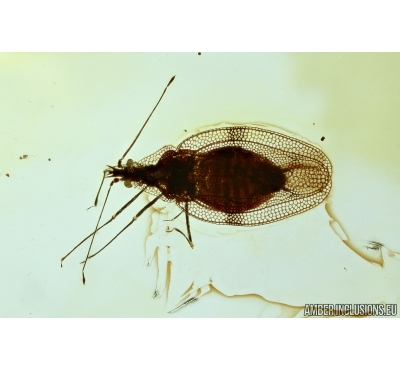 RARE LACE BUG, TINGIDAE. Fossil inclusion in BALTIC AMBER #6393