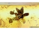 NICE, SMALL OAK FLOWER, Plant in Baltic amber #6416