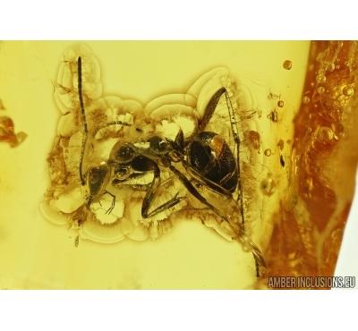 Big Ant, Hymenoptera. Fossil insect in Baltic amber #6463