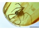 Spider, Araneae. Fossil inclusion in Baltic amber #6467