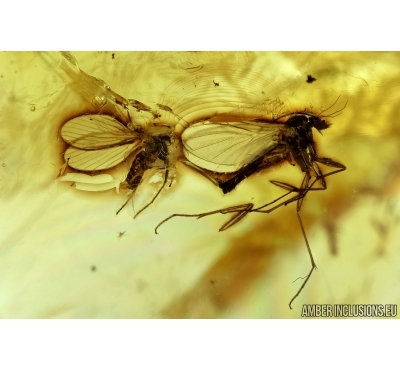 Moth flies Psychodidae, Fungus gnats Mycetophilidae, Mite Trombidia and More. Fossil insects in Baltic amber #6509