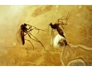 Dicranomyia, Crane Fly, Two Thrips and More. Fossil insects in Ukrainian, Rovno amber #6541