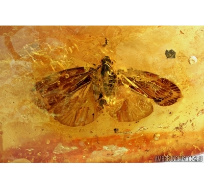 VERY NICE, BIG WINGED PLANTHOPPER, CICADA. Fossil insect in Baltic amber #6586