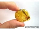 Very Nice, Big 17mm, Rare Leaf. Fossil inclusion in Baltic amber #6587