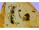 Nice leaf, Ant Hymenoptera and Psocid Psocoptera. Fossil insects in Baltic amber #6590