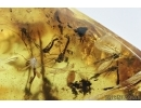 Mite, Trombidiae and Gnats . Fossil insects in Baltic amber stone #6627