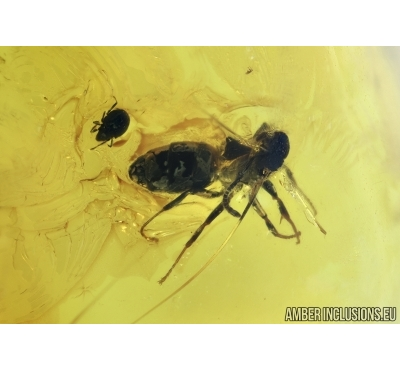 Hymenoptera Ant, Oribatidae Mite and Chironomidae True midge.  in Baltic amber #6674