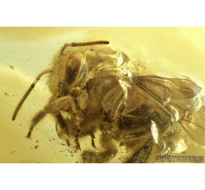 Superb Honey Bee 14mm! Apoidea. Fossil insect in Baltic amber #6683