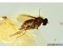 Flower and Fly. Fossil inclusions in Baltic amber #6711