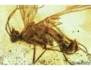 Mecoptera, Panorpidae, Scorpionfly. Fossil inclusion in Baltic amber #6715