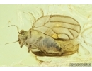 Rare Psyllid, Psylloidea and More. Fossil insects in Baltic amber #6737