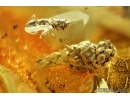 Rare Thuja with Cone. Fossil inclusion, Ant, Beetle and Fly. Fossil inclusions in Baltic amber stone #6738