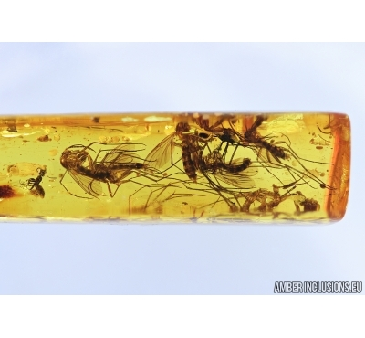 Fungus gnats Mycetophilidae,  and More. Fossil inclusions in Baltic amber #6764