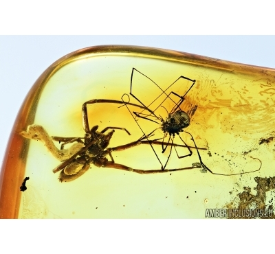 ACTION! Spider with Larva and Harvestman. Fossil inclusions in Baltic amber #6782
