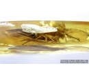 Trichoptera, Caddisfly. Fossil insect in Baltic amber #6803