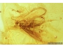 Lepidoptera, Moth and More. Fossil insects in Baltic amber #6816