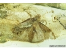 Lepidoptera, Moth. Fossil insect in Ukrainian amber #6818