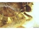 Big Spider with Mallophaga, Philopteridae! Fossil inclusions in Baltic amber stone #6834