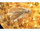 Trichoptera, Caddisfly. Fossil insect in Baltic amber #6836