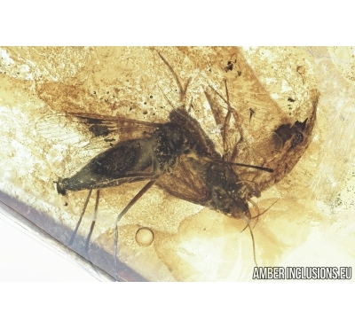Very Rare Mosquito Culicidae Culex and Moth Lepidoptera.  Fossil insects in Baltic amber #6853