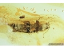Elateridae Click beetle and Hymenoptera Wasp. Fossil inclusions in Baltic amber #6864