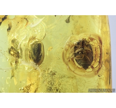 Five Marsh beetles Scirtidae, Spider and Ant . Fossil inclusions in Baltic amber #6865