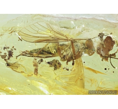 Big Snipe Fly, Rhagionidae, Myriapoda, Polyxenidae and Nice Leaf. Fossil insects in Baltic amber #6885