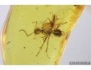 Nice Ant and Midge. Fossil insects in Baltic amber #6903
