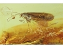 Two Caddisflies, Trichoptera. Fossil insects in Baltic amber #6906