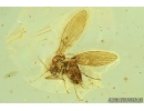 Psychodidae, Moth fly with Parasitic Larva in Baltic amber #6920