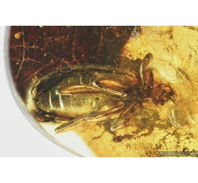 Darkling beetle, Tenebrionidae. Fossil insect in Baltic amber #7030