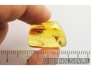 EXTREMELY RARE CROWN WASP, ?STEPHANIDAE. Fossil inclusion in Baltic amber #7061
