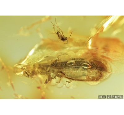 Cylindrical Dark beetle, Colydiidae (Zopheridae), Endophloeus. Fossil insect in Baltic amber #7075