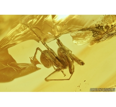 ARCHAEIDAE, PARADOXA, DAWN SPIDER. Fossil inclusion in Baltic amber #7135