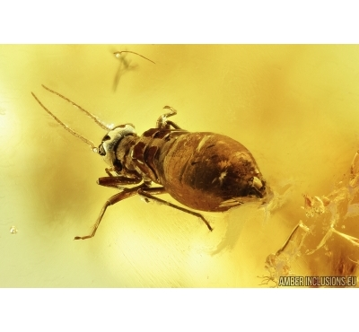 Rare Psocid Psocoptera and Click beetle, Elateroidea. Fossil insects in Baltic amber #7179