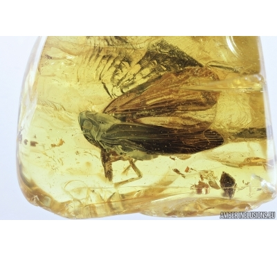 Planthopper, Cicada. Fossil inclusion in Baltic amber #7184