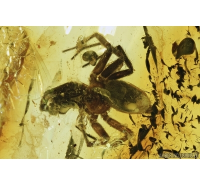 Spider, Araneae and Lathridiidae Brown scavenger beetle. Fossil inclusions in Baltic amber stone #7189